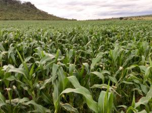 Zimbabwe - Amatheon Agri - 1